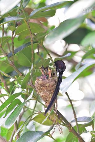 宮古島/繁殖の季節の写真素材 [FYI02978756]