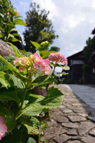 紫陽花の写真素材 [FYI02978773]
