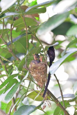 宮古島/繁殖の季節の写真素材 [FYI02978819]