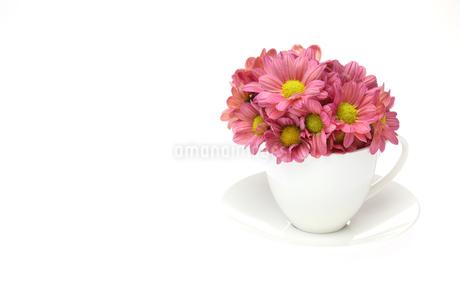 コーヒーカップに挿した菊の写真素材 [FYI02978821]