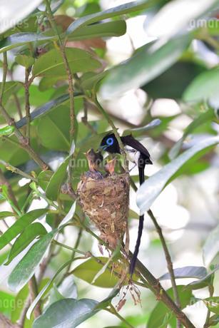 宮古島/繁殖の季節の写真素材 [FYI02978833]