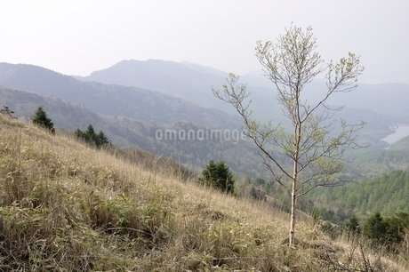 笹原に立つ岳樺の写真素材 [FYI02978842]