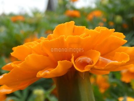 オレンジの花(鶴見緑地)の写真素材 [FYI02978991]