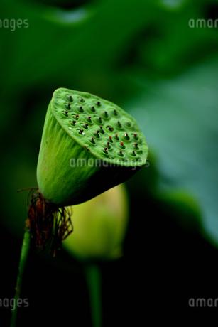 蓮の実の写真素材 [FYI02978992]