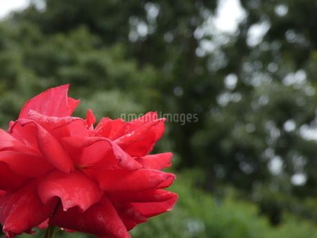 赤色の花(ばら)と鶴見緑地の写真素材 [FYI02978995]