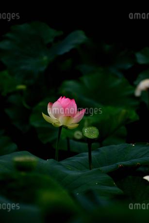 蓮の写真素材 [FYI02978996]