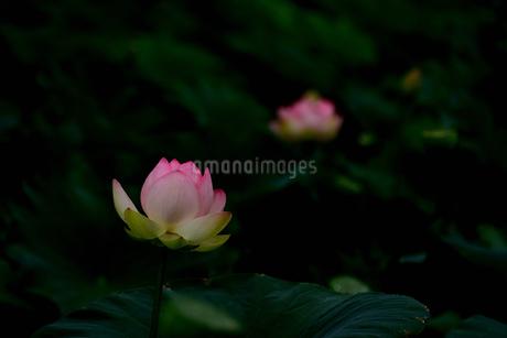 蓮の写真素材 [FYI02978999]