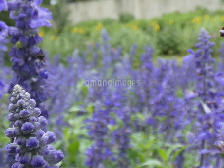 ラベンダー花(鶴見緑地)2の写真素材 [FYI02979008]
