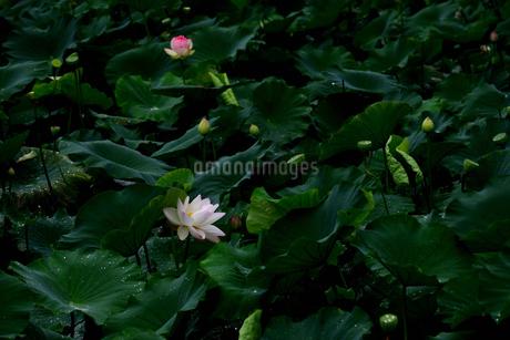 蓮の写真素材 [FYI02979032]