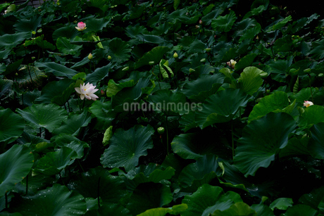 蓮の写真素材 [FYI02979034]
