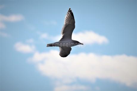 青空を背景に飛ぶカモメの写真素材 [FYI02979053]