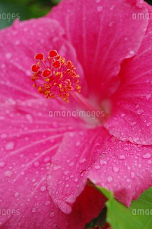 南国沖縄の水滴が残る赤いハイビスカスの写真素材 [FYI02979059]