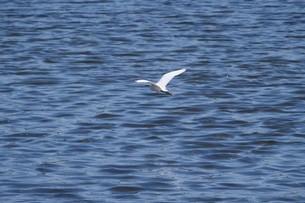 水面を飛ぶ白鷺の写真素材 [FYI02979066]