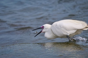 小魚を食べる瞬間の白鷺の写真素材 [FYI02979073]