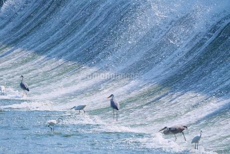 堰堤で餌探しをする鷺の写真素材 [FYI02979074]