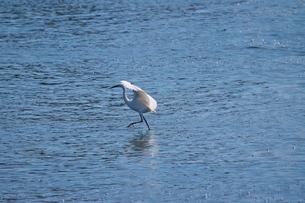 川で餌を追いかける白鷺の写真素材 [FYI02979075]
