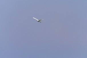 青空を飛ぶ白鷺の写真素材 [FYI02979078]