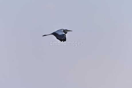 青空を飛ぶアオサギの写真素材 [FYI02979082]