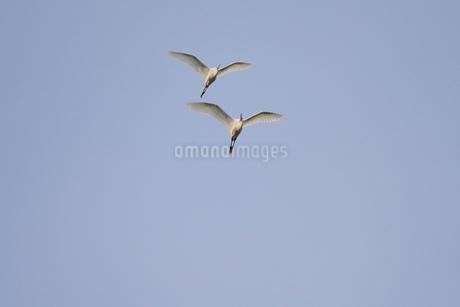 青空を背景に飛ぶ複数の白鷺の写真素材 [FYI02979086]