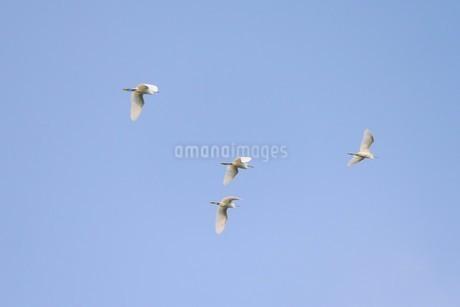 青空を背景に飛ぶ白鷺の群れの写真素材 [FYI02979092]