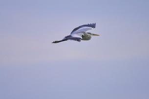 青空を背景に飛ぶアオサギの写真素材 [FYI02979101]