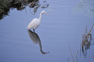 水面に佇む白鷺の写真素材 [FYI02979104]