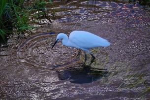 川で餌探しをする白鷺の写真素材 [FYI02979105]
