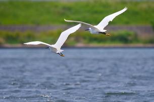 川面に近い所を飛ぶ二羽の白鷺の写真素材 [FYI02979108]