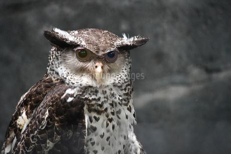 Strigidae ミミズクの写真素材 [FYI02979124]