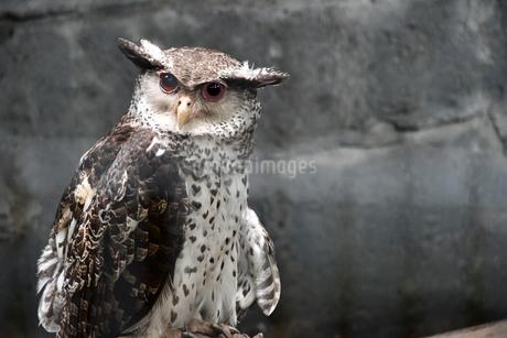 Strigidae ミミズクの写真素材 [FYI02979125]