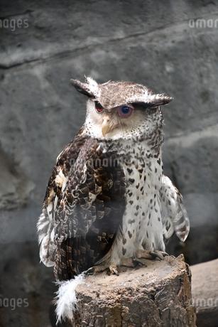 Strigidae ミミズクの写真素材 [FYI02979126]