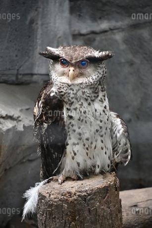 Strigidae ミミズクの写真素材 [FYI02979128]