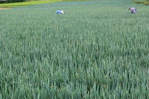 ネギ畑 (豊作)の写真素材 [FYI02979132]