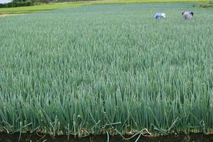 ネギ畑 (豊作)の写真素材 [FYI02979133]
