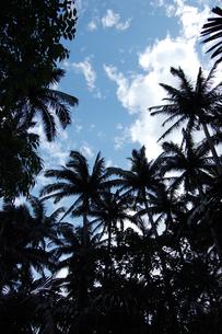 南国沖縄のヤシの木を見上げるの写真素材 [FYI02979196]