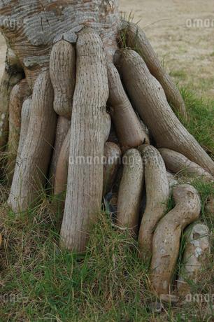 南国沖縄のアダンの木の根元の写真素材 [FYI02979204]