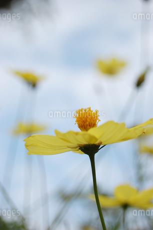 南国沖縄の黄色い花々の写真素材 [FYI02979209]