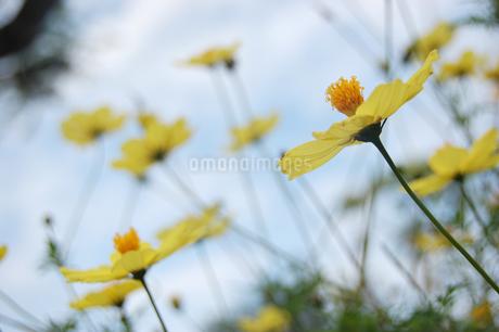南国沖縄の黄色い花々の写真素材 [FYI02979210]