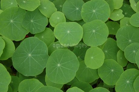 同じ種類の緑の葉が密集しているの写真素材 [FYI02979211]