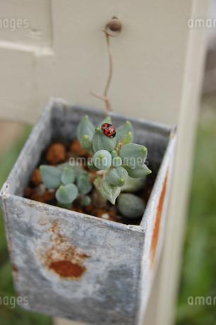 多肉植物とてんとう虫の写真素材 [FYI02979212]