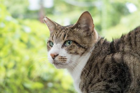 避妊手術を終えたネコの写真素材 [FYI02979220]