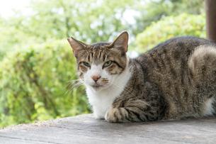 避妊手術をしたネコの写真素材 [FYI02979224]
