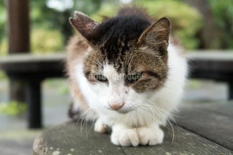 避妊手術をしたネコの写真素材 [FYI02979225]