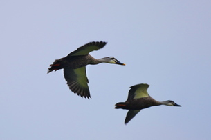 青空を飛ぶ二羽のカルガモの写真素材 [FYI02979252]