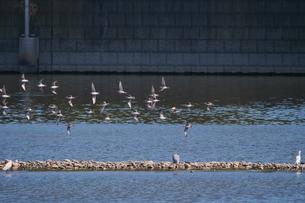 水面に近い所を飛ぶシギの群れの写真素材 [FYI02979261]