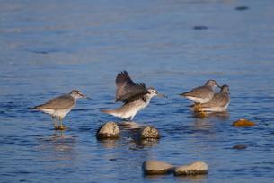 川面で寛ぐシギの群れの写真素材 [FYI02979263]