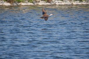 水面に近い所を飛ぶカルガモの写真素材 [FYI02979279]