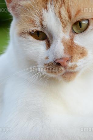 こちらをじっと見つめる猫の写真素材 [FYI02979295]