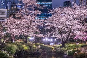 毛利庭園の夜桜(六本木)の写真素材 [FYI02979314]