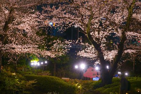 毛利庭園の夜桜(六本木)の写真素材 [FYI02979319]